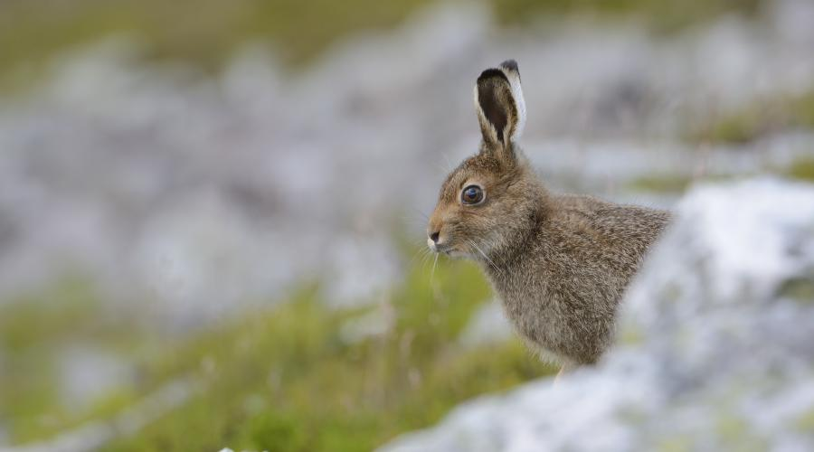 protected species hares scottish