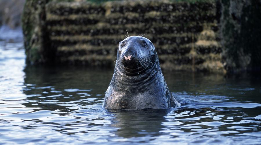protected species seals scottish
