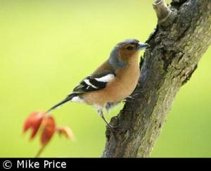 Chaffinch courtesy of British Garden Birds.