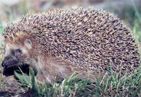 Hedgehog (Wikipedia)