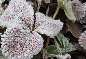 Ice crystals on coloured leaves