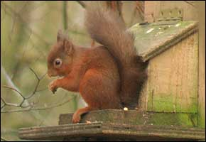 Red Squirrel at Talkin Tarn
