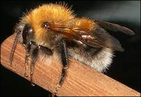 The European Tree Bee - Shaun Hackett