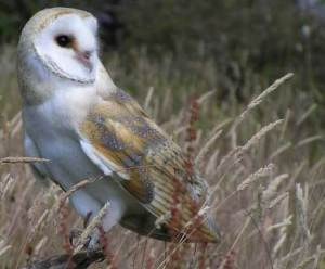 An icon of British wildlife and folklore, the Barn Owl