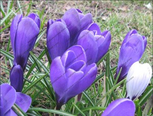 Purple crocus bring some welcome colour to the garden