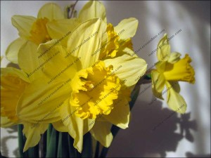 The daffodil made famous by a certain Wordsworth poem