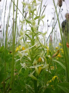 Greater butterfly-orchid. Pic Beth Newman-Plantlife