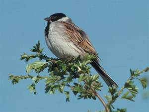Reed bunting - Mike Richards (rspb-images.com)