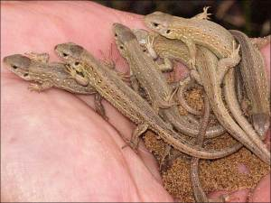 80 captive-bred sand lizards released on the Sefton Coast. Pic - Phil Smith