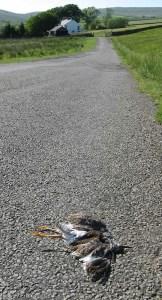 Dead redshank in road. Pic NPAP/Rebecca Barrett