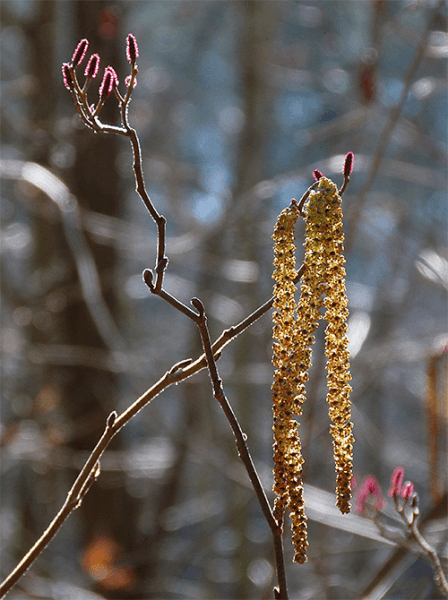 The small red flowers above the male catkins.