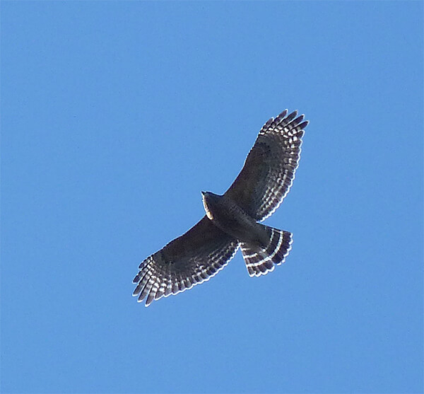 Red-shouldered hawk soaring above Explore the Wild.
