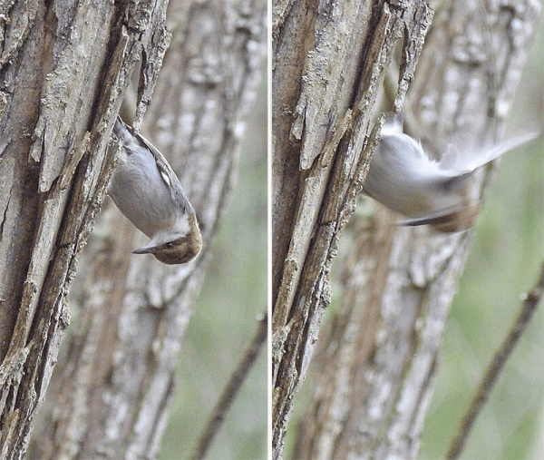 Nuthatch pounding away at willow trunk (willow is a soft wood).