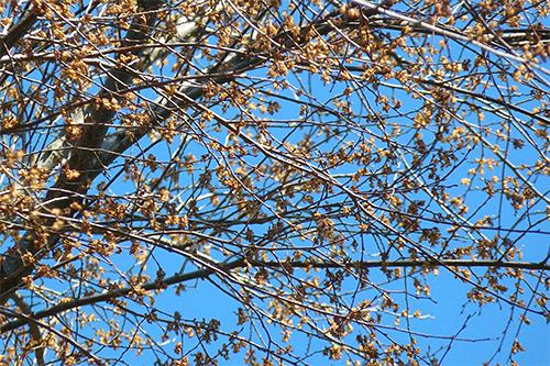 elms in bloom.