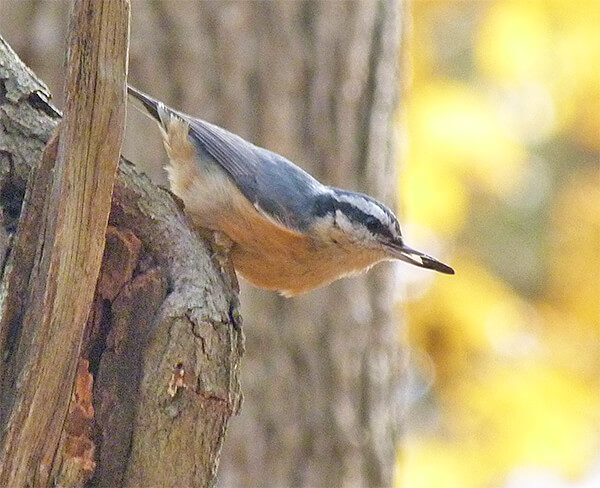 Red-breasted nuthatch with sunflower seed in its bill.