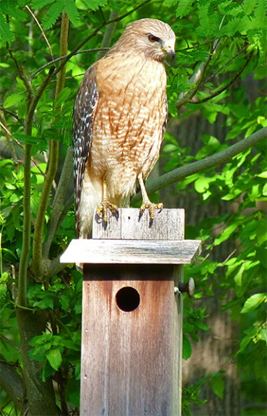 Red-shouldered hawk atop Sailboat Pond nest box (4/26/16).