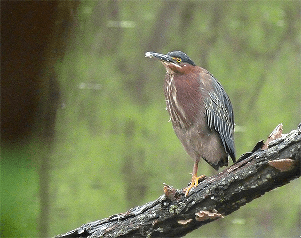 Our returning green heron.