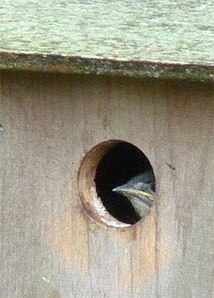 Nestling eyes me from Woodlands nest (5/3/16).