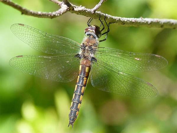Female common baskettail.