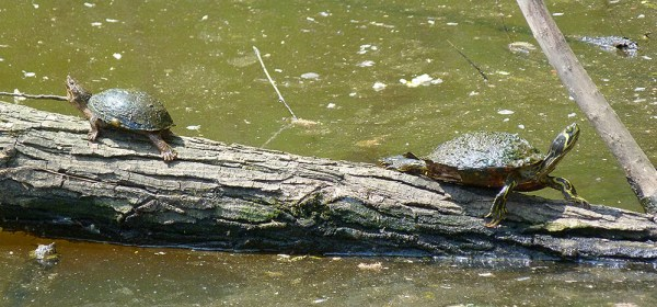 Eastern musk turtle, or stinkpot (left), and yellow-bellied slider, basking.