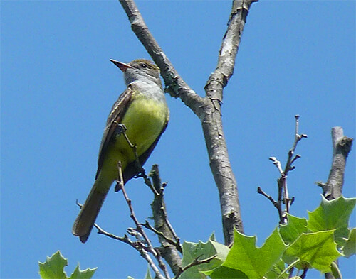 Great-crested flycatcher looking for a dragonfly to eat.