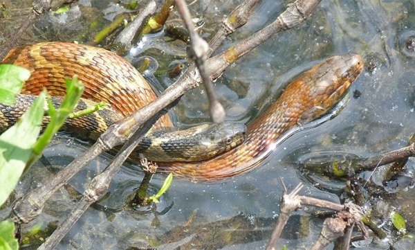 Northern water snake (male/female mating).