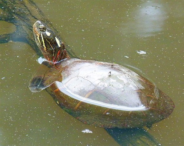 Eastern painted turtle basking.
