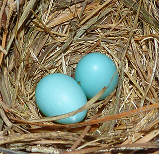 Two fresh bluebird eggs at Cow Pasture nest (6/21/16).