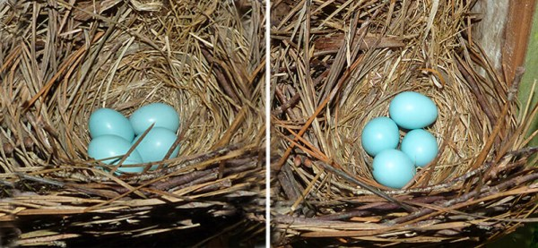 Cow Pasture nest on 6.28.16 (left) and 7.5.16 (right).