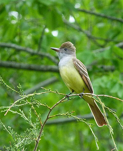 Great-crested flycatcher.