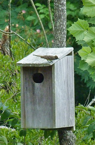 Great-crested flycacther atop the nest box.