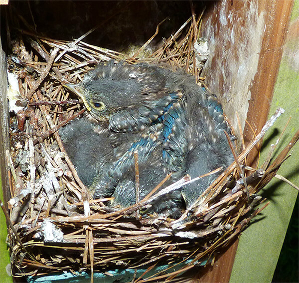 The Cow Pasture nest on July 19 with four nestlings.