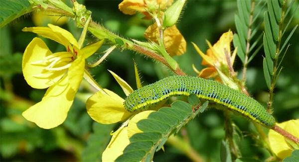 A green cloudless sulphur caterpillar.