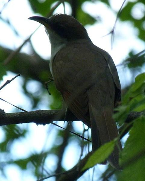 A cuckoo.