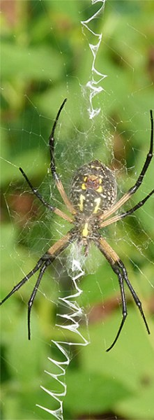 Black and yellow argiope. Note the zig-zag pattern on web.