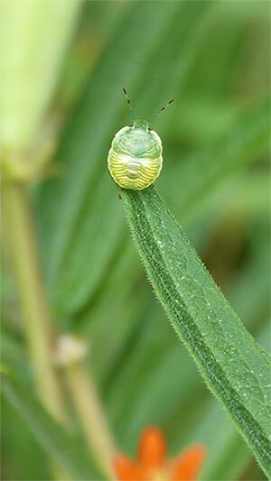 Fifth instar stinkbug. probably green stink bug.