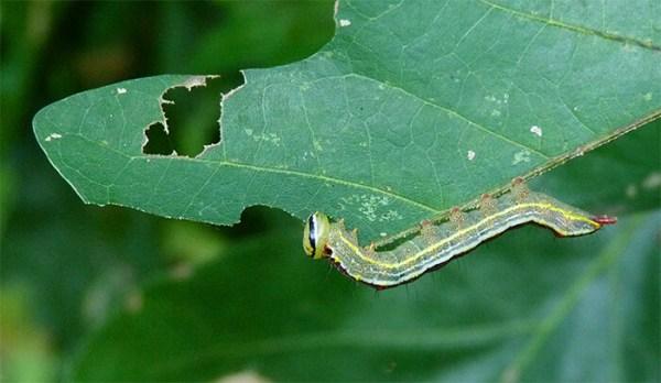 Variable oakleaf caterpillar.