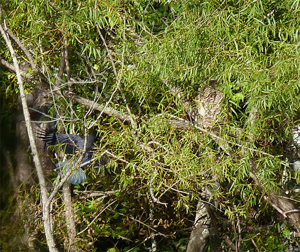 Willow tree barred owl (10/11).