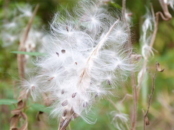 The silky, white filaments help carry the seeds away from the mother plant.