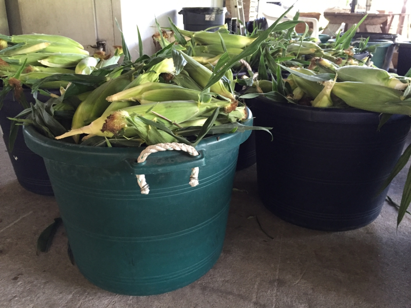 Bushels of Number 1 corn, ready for sale. Best way to cook it is 2 minutes in the microwave on high. Then peel and eat!