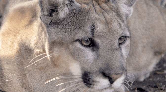 Panthers and Bobcats featured at the Wildlife Park in April