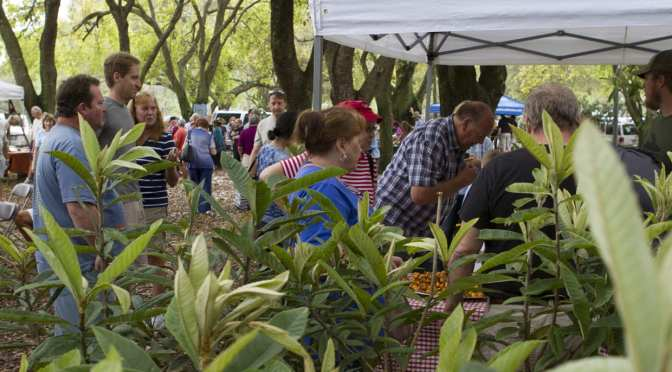 Florida Loquat Festival offers a Variety of Loquat Trees in NPR 4/8