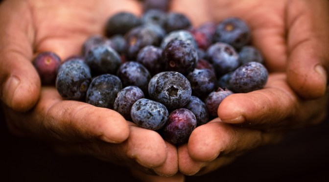 Florida-fresh Blueberries in the Nature Coast: Picking and Grinning