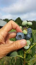 Spring Lake Blueberry Farm