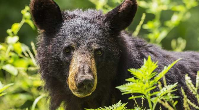 Are the Chassahowitzka (Chazz) Bears OK?