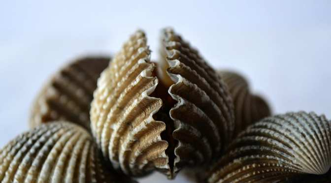 Nature Coast waters open for Scallop harvest starting July 1