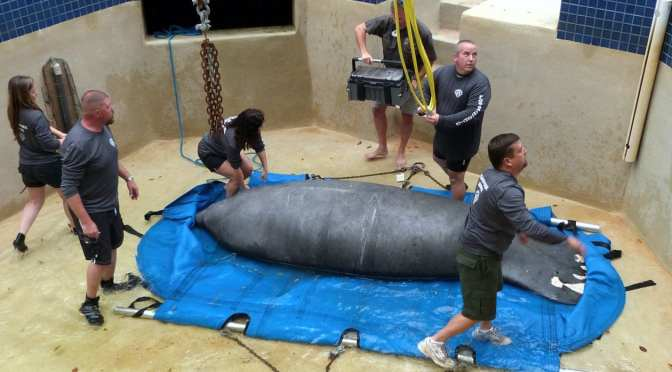 Betsy the Manatee Welcomed Home