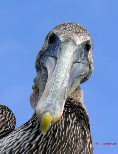 Curious Pelican