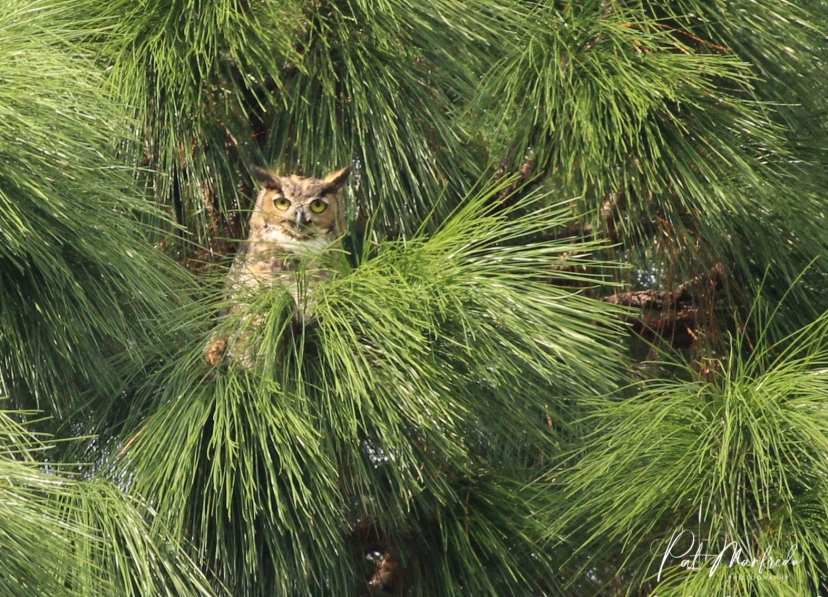Great horned owls and red hawks are common on Red Spring Trail, with 150 species of birds known to inhabit Werner Boyce Salt Springs State Park. This is a great location for birders of all skill levels.
