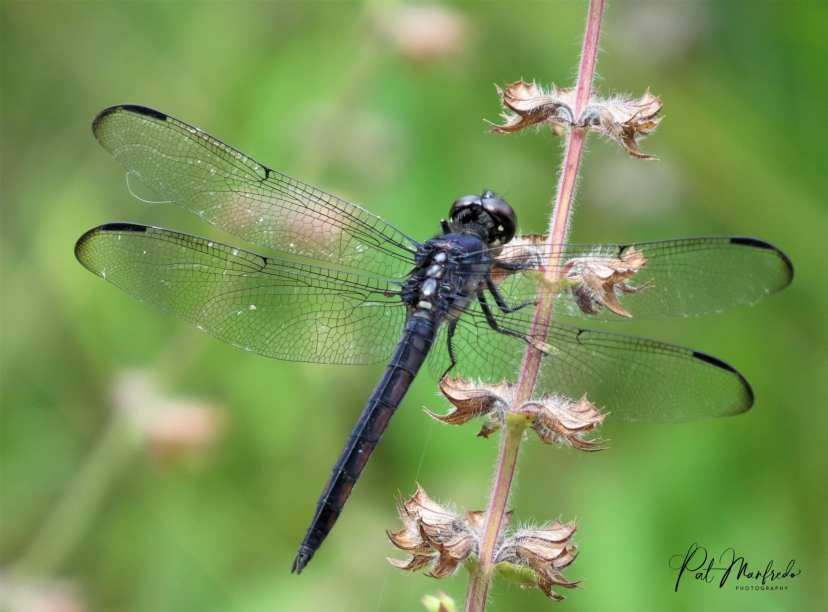 Black dragonfly perched on a branch. Nature Coast Dragonfly photographed by Pat Manfredo